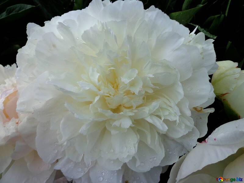 Peonía blanca №46692