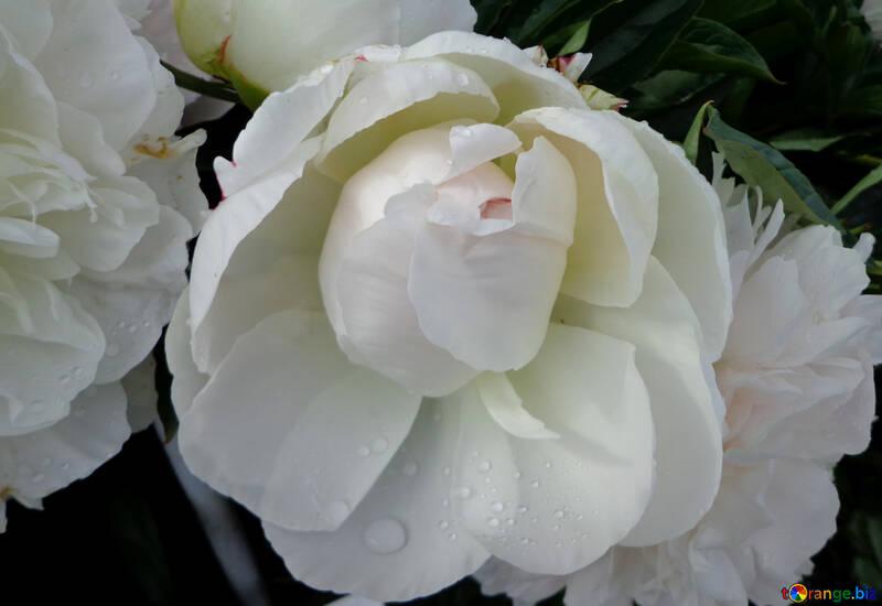 White peony №46693