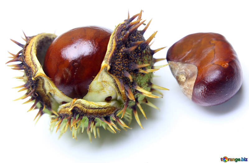 Conker isolated on white background №46424