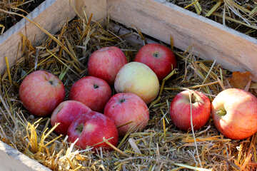 Natural apples in a wooden box on hay №47358