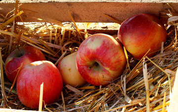 Natural apples in a wooden box on hay №47359