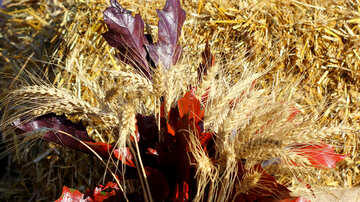 Autumn background with bread spikelets №47378