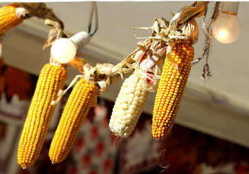 Autumn decor of  maize corn №47398