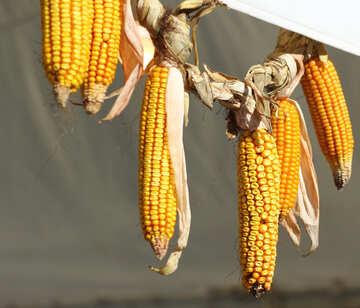 Autumn decor of  maize corn №47399
