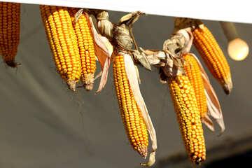 Autumn decor of maize  corn №47400