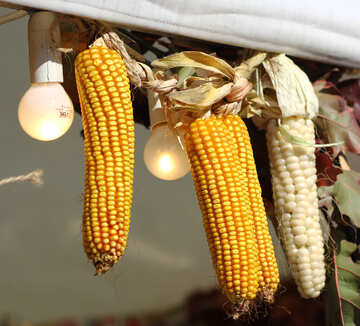 Autumn decor of  maize corn №47401