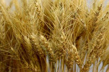 Dry corn ears №47165