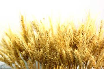 Dry corn ears №47167