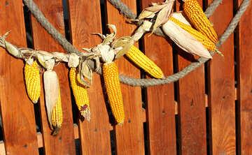 Autumn decor of  maize corn №47397