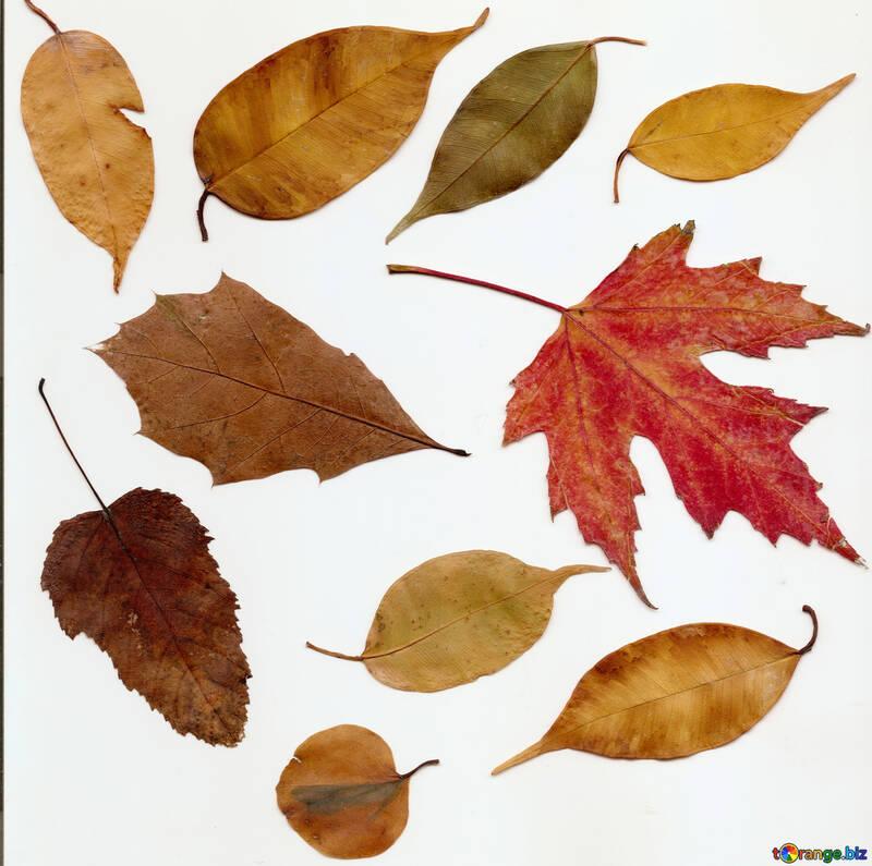 Hojas de otoño en un fondo blanco №47262