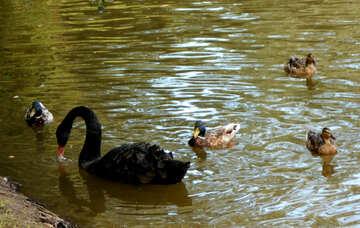 Black lebde and ducks №48461
