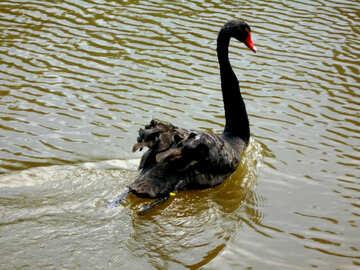 Black swan swimming №48458