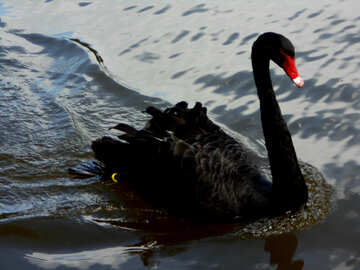 Black swan swimming №48459