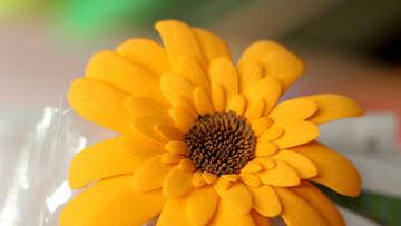 Gerbera flower of foamirana
