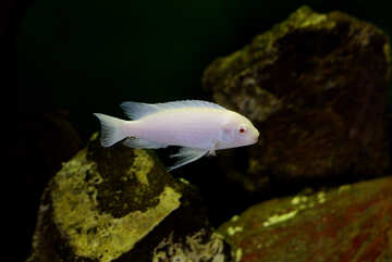 White fish in the aquarium №48669