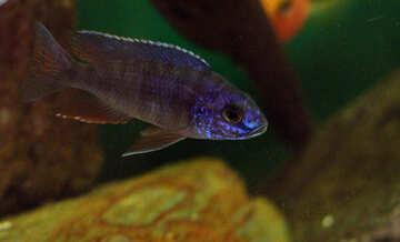 Blue fish in aquarium №48670