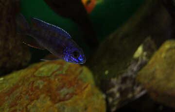 Blue fish in aquarium №48671