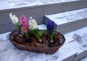 Flower hyacinth in the snow in the winter №48490