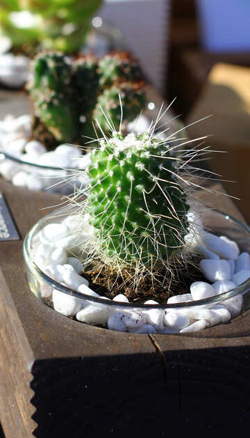 Cactus in a wooden flowerpot №48356