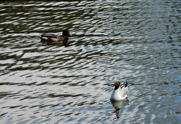 Freshwater seagulls №48460