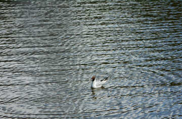 Freshwater seagulls №48462