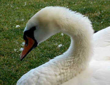 The muzzle of a swan №48470
