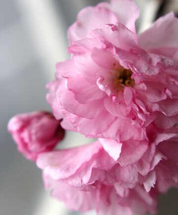 Sakura blossoms №48585