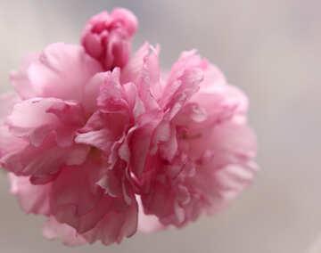 Sakura blossoms №48586