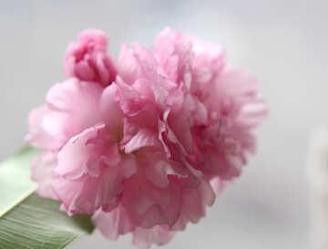 Sakura blossoms №48588