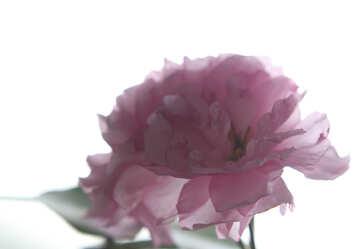 Sakura flower isolated on white background №48592