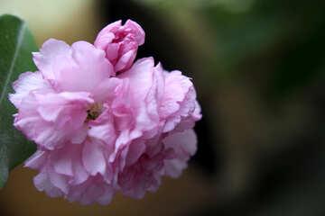 Sakura flower big №48593