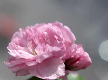 Sakura flower №48597