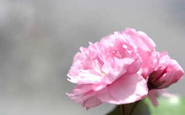 Sakura flower №48598
