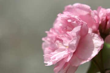 Sakura flower №48600