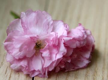 Sakura flower on a wooden background №48604