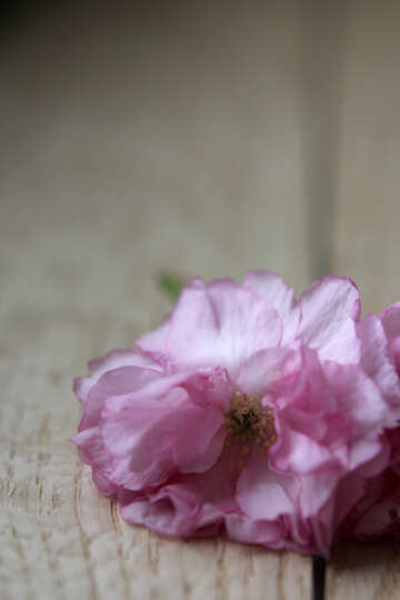 Sakura flowers on a background of wood №48614
