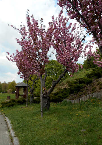 Alley of flowering cherry trees №48551