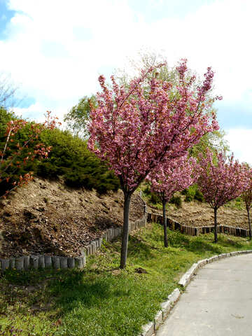 Alley of flowering cherry trees №48557