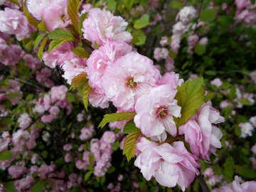 Almond Flowering branch №48574