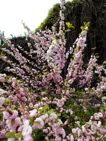 Blossoming Almond Tree №48568