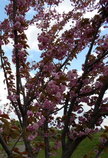 The branches of cherry blossoms №48548