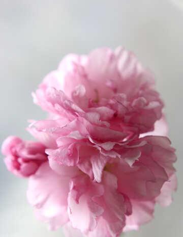 Sakura blossoms №48587