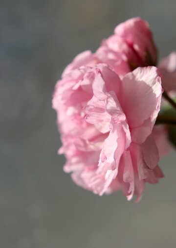 Sakura flower №48595