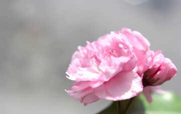 Sakura flower №48599