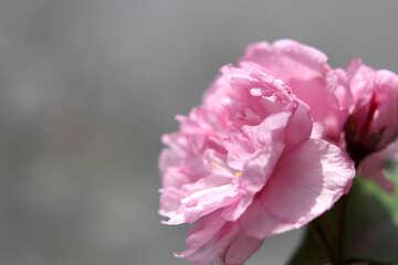 Sakura flower №48601