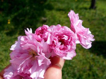 Sakura flower in hand №48555