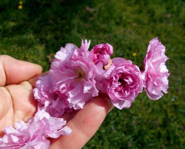 Sakura flower in hand №48556