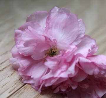 Sakura flower on a wooden background №48602