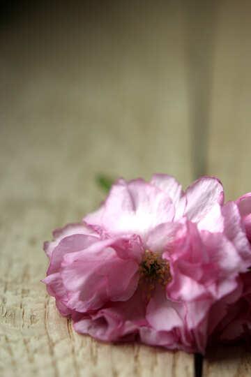 Sakura flowers on a background of wood №48613