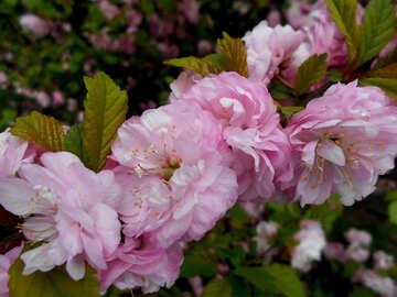 Almond Flowering branch №48576